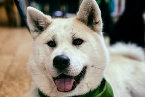 Happy Akita dog HD