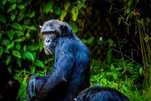 Chimpanzee 4K