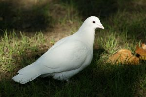 Beautiful White Dove HD
