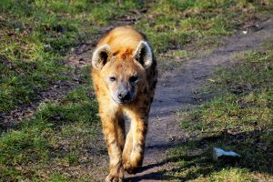 Hyena walking on the path 5K