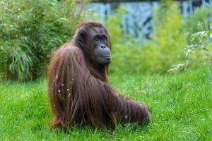 Orangutan 6K