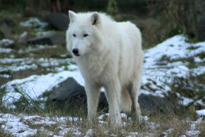 Beautiful White Wolf HD