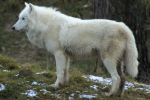 Handsome White Wolf HD