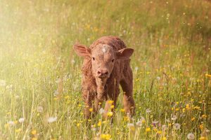 Brown Calf In Grass HD