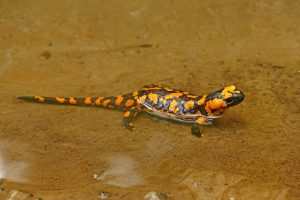 Orange Fire Salamander 5K