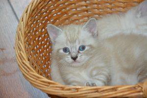 White Kitten In Her Basket 6K
