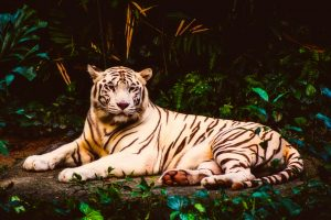 Handsome White Tiger At Rest HD