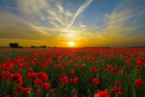 Horizon of a red poppy flower field at sunset 5K