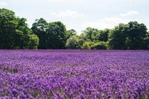 Lavender Fields 4K