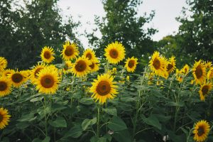 Sunflowers 4K