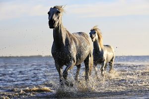 White horses at the seaside 5K