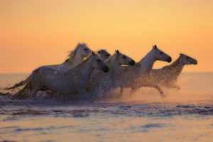 White horses galloping at sunset 4K