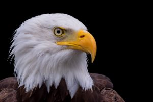 Bald Eagle Face HD