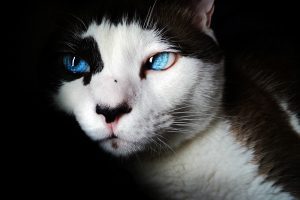 Beautiful cat with blue eyes HD