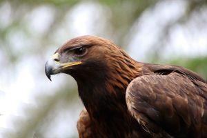 Golden Eagle 6K