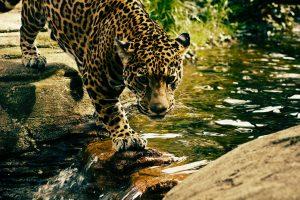 Jaguar Crossing River