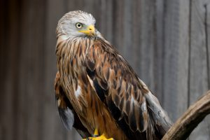 Red Kite HD