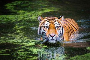Tiger Swimming HD