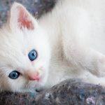 Beautiful white kitten with blue eyes hd
