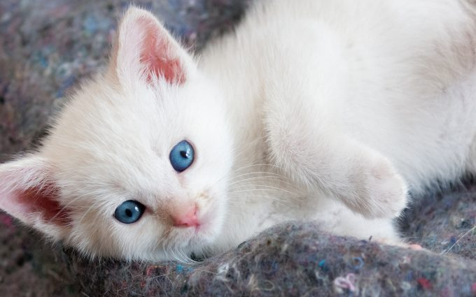Beautiful white kitten with blue eyes hd