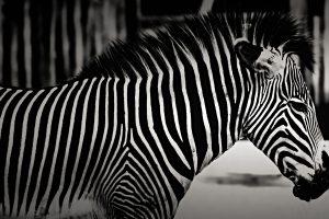 Zebra (Black & White) HD