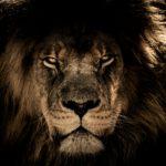 African Lion 4K