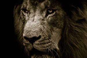 African Lion Face 4K