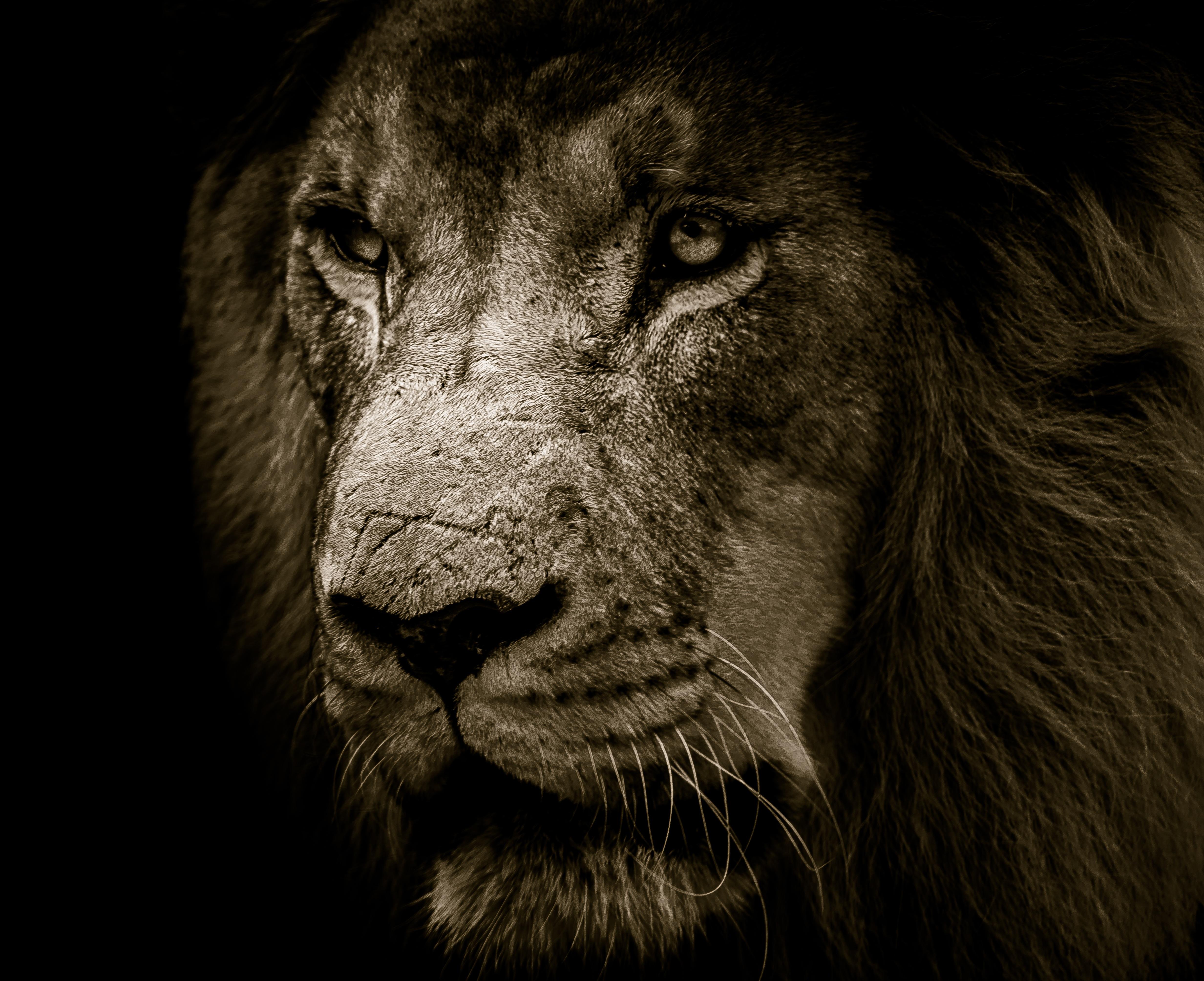 African lion face 4k uhd wallpaper - Lion 4k wallpaper for mobile ...