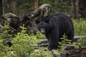 Black Bear HD