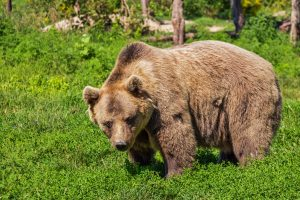 Brown Bear 01