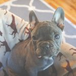Brown French Bulldog 01