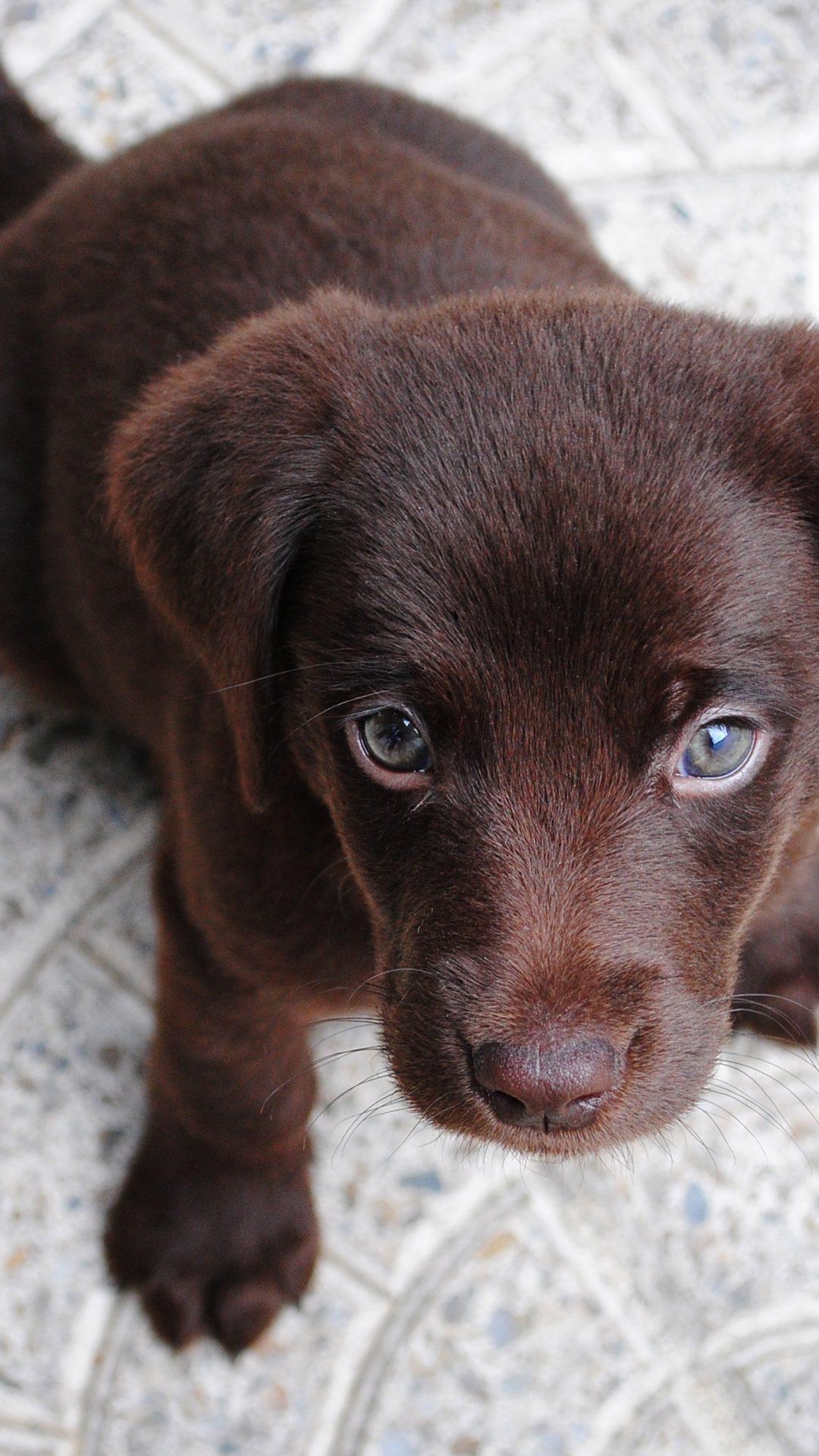 Cute Brown Labrador Puppy Hd Wallpaper