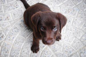 Cute Brown Labrador Puppy HD