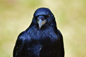 Crow 02