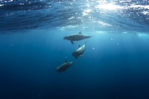 Dolphins under water