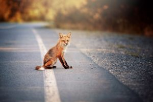 Fox sitting on the road 4K
