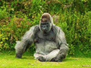 Silverback Gorilla 4K
