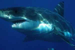 Great White Shark Under Water HD