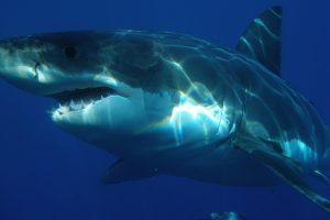 Great White Shark 01