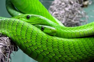 Western green mambas HD