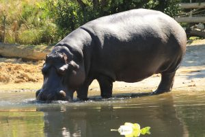 Hippopotamus drinking water in the river 5K