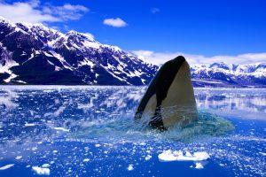 Killer whale in the Arctic Ocean