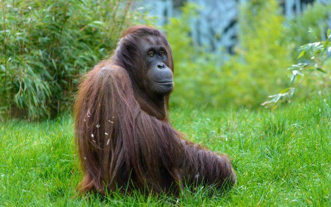 Orangutan 01