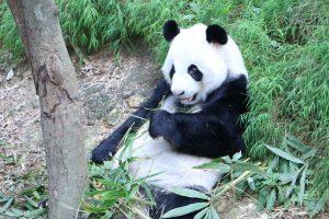 Panda 5K