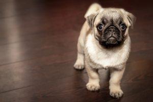 Cute Pug Puppy HD