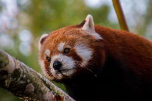 Red Panda 5K