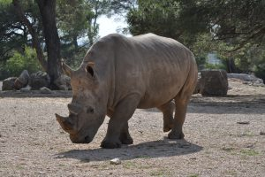 Rhinoceros 4K