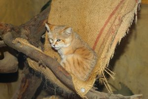Sand Cat sitting on a branch 6K