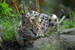 Serval 01