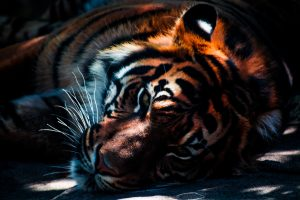 Beautiful Tiger at rest 6K